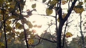 4K录影 阳光通过与秋叶的分支发光 股票录像