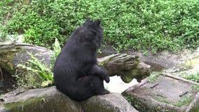 4k成人福摩萨黑熊为抓爪子使用了爪在动物园 股票视频