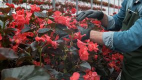 4K提供援助的手接触年幼植物自大温室 农业或科学产业 影视素材