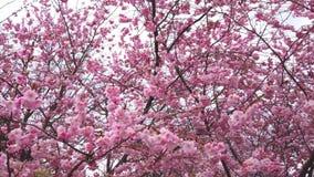 4k有桃红色花的风和分支录影移动的春天樱花 股票录像