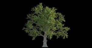 4k有风树的英尺长度汇集建筑形象化的与保险开关面具 皇族释放例证