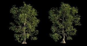 4k有风树的英尺长度汇集建筑形象化的与保险开关面具 库存例证