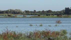 4K桃红色吃草在Doñana国立公园沼泽地的火鸟和马  影视素材