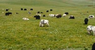 4k牦牛群在大草原的,中国高原风景 影视素材