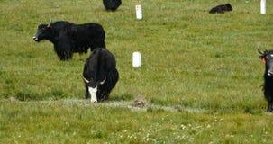 4k牦牛群在大草原的,中国高原风景 股票视频