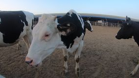 4K特写镜头在农场的奶牛 家畜在谷仓 农业产业 影视素材