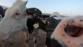 4K特写镜头在农场的奶牛 家畜在谷仓 农业产业 股票视频