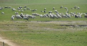 4k绵羊群在大草原的 股票录像