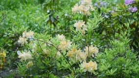 4k美好的白色杜娟花花种类非常紧密移动风在植物园里 股票视频