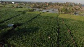 4K走在玉米田的年轻夫妇游人空中飞行寄生虫录影  巴厘岛 图库摄影