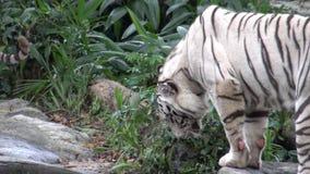 4k走白色的老虎和等待食物在动物园里 股票视频