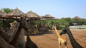 4k长颈鹿和斑马牧群在徒步旅行队世界动物园在曼谷,泰国 影视素材
