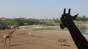 4k长颈鹿和斑马牧群在徒步旅行队世界动物园在曼谷,泰国 股票视频