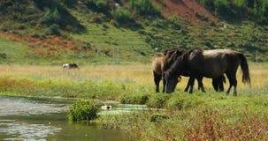 4k马吃草在草原的,香格里拉云南,瓷 股票录像