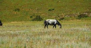 4k马吃草在草原的,香格里拉云南,瓷 股票视频