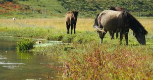 4k马吃草在草原的,香格里拉云南,瓷 影视素材