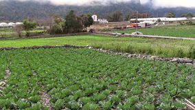 4K,一棵新近地生长圆白菜领域的中国风景视图 ?? 股票录像