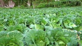 4K,一棵新近地生长圆白菜领域的中国风景视图 ?? 影视素材