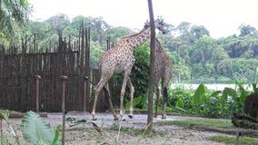 4K,人游人在动物园(长颈鹿camelopardalis)里看长颈鹿 股票视频