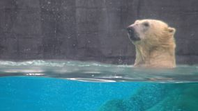4K,人游人看游泳和吃在冻水中的北极熊 影视素材
