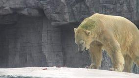 4k,北极熊出去水为吃鱼在动物园里 股票录像