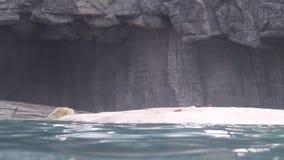 4k,吃在动物园的水池的北极熊鱼 影视素材