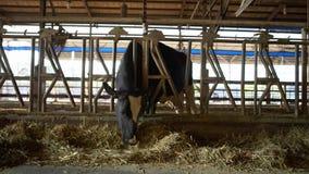 4K,吃干草的家畜在谷仓 吃草在现代农场的牛母牛 股票视频