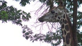4k,吃树食物的长颈鹿在动物园(长颈鹿camelopardalis)里 影视素材