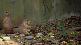 4K,啃在小叶子的棕色草原土拨鼠在动物园里在好日子夏天 股票视频