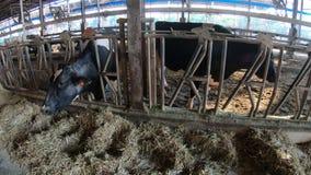 4K,在现代农场的奶牛哺养的过程 吃干草的家畜 影视素材