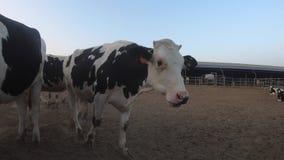 4K,在现代农场的奶牛 家畜在谷仓 农业产业 影视素材