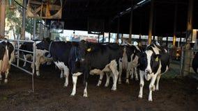 4K,在现代农场的奶牛 家畜谷仓 母牛牧群在牛棚 影视素材