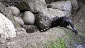 4K,搜寻在岩石的水獭食物近对河在自然环境 股票录像