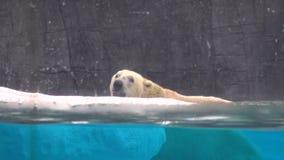 4k,游泳在动物园里的北极熊 影视素材