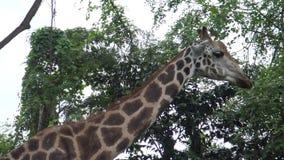 4k,走和吃在动物园(长颈鹿camelopardalis)里的长颈鹿 股票视频