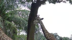 4k,走在动物园(长颈鹿camelopardalis)里的长颈鹿 股票视频