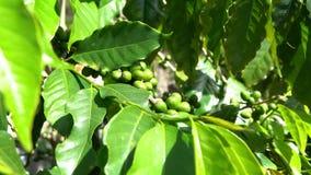 4K, árvore de café com as bagas vermelhas e verdes em ramos na plantação de café filme