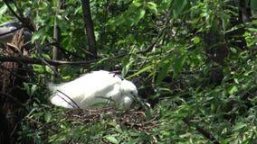 4k, άσπρο πουλί Egretta Garzetta, λίγος τσικνιάς παίρνει την προσοχή η φωλιά στο δέντρο φιλμ μικρού μήκους