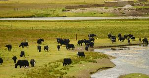 4k ένα κοπάδι yak στο λιβάδι, ποταμός που διατρέχουν του λιβαδιού του Θιβέτ απόθεμα βίντεο