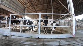 4K, αγελάδα γάλακτος στο σύγχρονο αγρόκτημα Σιταποθήκη κατοικίδιων ζώων Κοπάδι των αγελάδων στο σταύλο απόθεμα βίντεο
