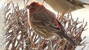4k αρσενική Finch σπιτιών συνεδρίαση στον κλάδο ενός δέντρου