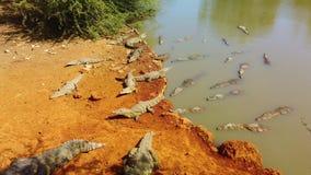 4K βίντεο του niloticus crocodylus κροκοδείλων του Νείλου στην κόκκινη άμμο απόθεμα βίντεο