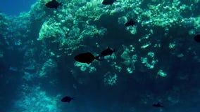 4k βίντεο των όμορφων κοραλλιογενών υφάλων στον πυθμένα της θάλασσας Ζωηρόχρωμα ψάρια που κολυμπούν γύρω φιλμ μικρού μήκους