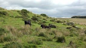4K: Βοσκή βοοειδών βόειου κρέατος φιλμ μικρού μήκους