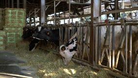 4K, διαδικασία σίτισης αγελάδων γάλακτος στο σύγχρονο αγρόκτημα Κατοικίδια ζώα που τρώνε το σανό απόθεμα βίντεο