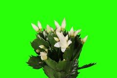 4K. Επιφυτικός κάκτος. Το άσπρο λουλούδι schlumbergera βλαστάνει την πράσινη οθόνη απόθεμα βίντεο
