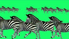 4k ζωικό τρέξιμο μετανάστευσης σκιαγραφιών γαιδάρων αλόγων zebras ομάδας, λιβάδι της Αφρικής απεικόνιση αποθεμάτων