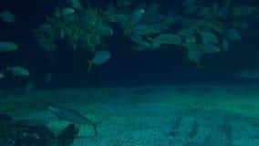 4K η γιγαντιαία ακτίνα manta με τα ψάρια κολυμπά υποβρύχιο στο κατώτατο σημείο της θάλασσας απόθεμα βίντεο