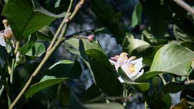 4K η μέλισσα στο πορτοκαλί άνθος συλλέγει το νέκταρ Λουλούδι επικονίασης μελισσών μελιού εργαζομένων απόθεμα βίντεο