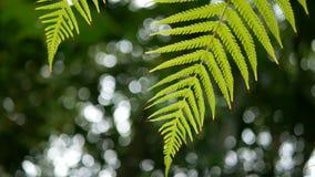 4K η πράσινη φτέρη αφήνει την ταλάντευση από τον αέρα με το πράσινα υπόβαθρο και bokeh το φως δέντρων πράσινο φυσικό υπόβαθρο με  φιλμ μικρού μήκους